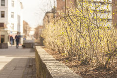 Illuminazione del sole della primavera sui cespugli nella città Fotografia Stock Libera da Diritti