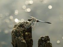 Illuminazione della libellula e dell'acqua di grey blu fotografia stock