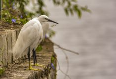 Illusion : Two Little egrets merged as one royalty free stock photo