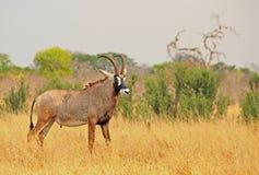 Illusive Roan Antelope-Stellung auf den getrockneten gelben afrikanischen Ebenen in Nationalpark Hwange stockbild