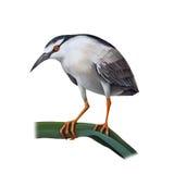 Illustartion птицы цапли ночи Стоковые Изображения