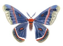 Illustartion da aquarela do cecropia do Hyalophora isolado no branco imagens de stock