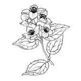Illustation векторной графики ветви жасмина в странице расцветки Стоковые Изображения