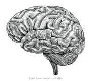 Illustra lateral del grabado del vintage del dibujo de la mano de la opinión del cerebro humano ilustración del vector