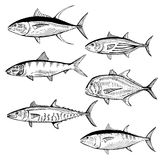 Illustrated Fish. Hand drawn illustration of the Yellow Fin Tuna, Blue Fin Tuna, Skipjack Tuna, Spanish Mackerel, Giant Trevally and Bone Fish Royalty Free Stock Photos