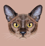 Illustrated Portrait of Burmese cat. Cute face of sable color Domestic Cat with yellow eyes on natural background Royalty Free Stock Photography