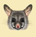 Illustrated portrait of Common brushtail possum Stock Image