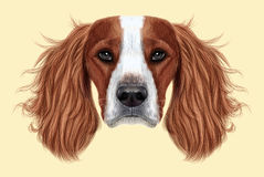 Illustrated Portrait of English Springer Spaniel dog. Cute face of domestic breed dog on beige background Stock Images