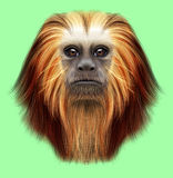 Illustrated portrait of Golden-headed lion tamarin monkey. Cute fluffy face of primate on green background Stock Images
