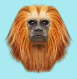 Illustrated portrait of Golden lion tamarin monkey. Cute fluffy face of primate on blue background Stock Images