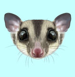 Illustrated portrait of Sugar glider Royalty Free Stock Photography
