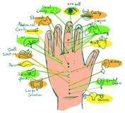 Illustrated Reflexology Hand Chart Stock Photos