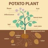 Illustratie die delen van aardappel tonen platnt Stock Afbeeldingen