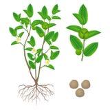 Illustratie die delen van groene sinensis van de theecamelia op een witte achtergrond tonen royalty-vrije illustratie