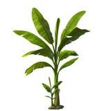 Illustratie van banaanboom royalty-vrije illustratie