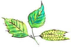 Illustratie van berkbladeren en zaden Stock Foto's