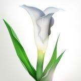 Illustratie van calla leliebloem en groene bladeren vector illustratie