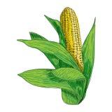 Illustratie van de graan de hand getrokken inkt Schets Verse organische groente, gegraveerd kruid Gedetailleerde voedseltekening Stock Fotografie