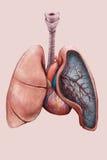 Illustratie van de longen, de trachee, de bronchiën en het hart stock illustratie