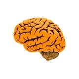 Illustratie van de menselijke hersenen Stock Foto's