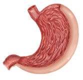 Illustratie van diagram van menselijke maaganatomie Stock Foto's
