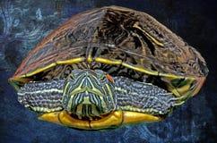 Illustratie van een Oostelijke Geschilderde Schildpad tegen een Achtergrond o Stock Afbeeldingen