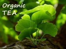 Illustratie van Ginkgo-het takje van de bilobaboom met heldergroene bladeren royalty-vrije stock foto