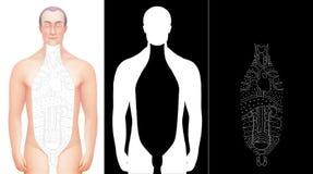 Illustratie van hand getrokken accijns gelegd op mannelijk anatomiemodel Royalty-vrije Stock Afbeelding