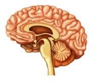 Illustratie van menselijke hersenen Stock Foto