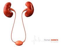 Illustratie van menselijke nier op witte achtergrond Royalty-vrije Stock Afbeelding