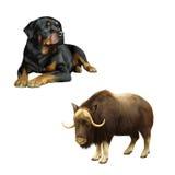 Illustratie van muskus-os, hond en Rottweiler stock foto