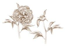 Illustratie van pioenbloem Royalty-vrije Stock Foto's