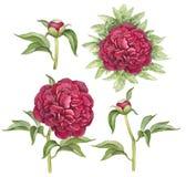 Illustratie van pioenbloemen Stock Afbeeldingen