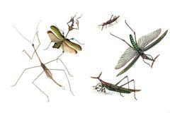 Illustratie van sprinkhanen en sprinkhanen, op een witte achtergrond Stock Afbeeldingen