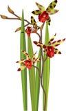 Illustratie van tijger de tropische orchideeën Stock Afbeelding