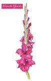 Illustratie van waterverf purpere gladiolen Royalty-vrije Stock Fotografie