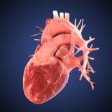 Illustratio van het röntgenstraalhart Nauwkeurige Anatomicaly Stock Foto's