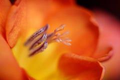 """Illustration †""""Nahaufnahmezusammensetzung der blühenden botanischen Tulpe Stockfotos"""