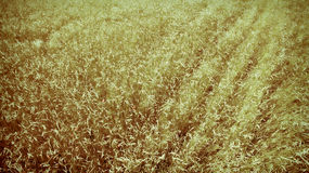 Illustration: Abstraktes Hintergrund-Weizen-Feld Stockbild