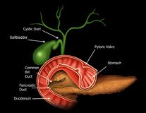 Anatomy of the Hepatic and Pancreatic Ducts. Illustration of the Royalty Free Stock Photo