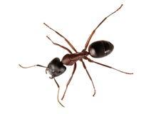 Illustration of ant Stock Image