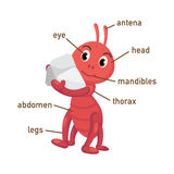 Illustration of ant vocabulary part of body Royalty Free Stock Image