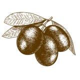 Illustration antique de gravure de branche d'olivier illustration de vecteur