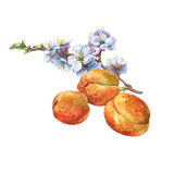 Illustration of apricot fruit and branch with flowers. Stock Image