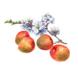 Illustration of apricot fruit and branch with flowers. Royalty Free Stock Photos