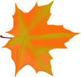 Illustration with autumn maple leaf Stock Photo