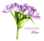 Illustration av Allium, Alliumblomningar Alliumtrumpinnen, också som är bekant som sphaerocephalon, producerar tvåfärgat, Bourgog Arkivbild