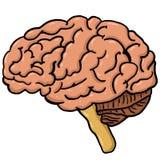 Illustration av anatomi för mänsklig hjärna arkivfoto
