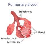 Illustration av den mänskliga alveolstrukturen Royaltyfria Bilder