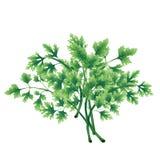 Illustration av en grön persiljagrupp arkivfoton